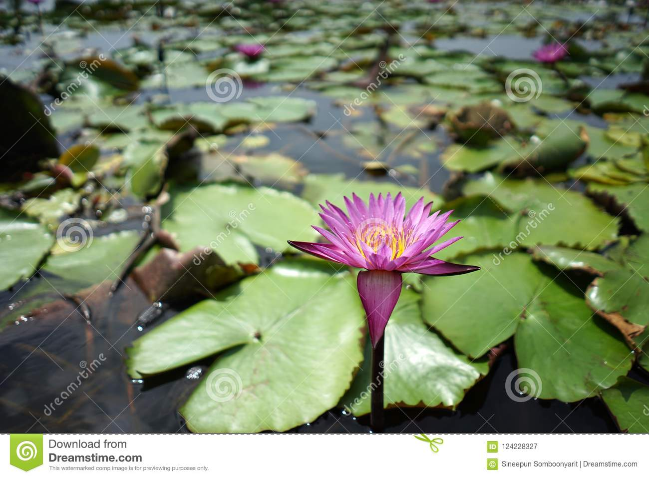 Beautiful Red Lotus Flower In The Lotus Pond On The Sunny Day Stock