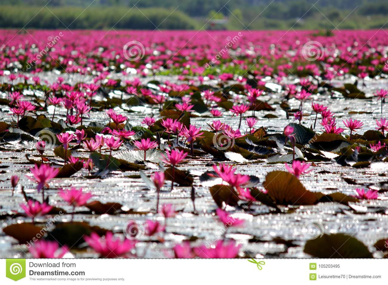 Red Lotus Flower In The Pond Stock Image Image Of Blooming Beauty