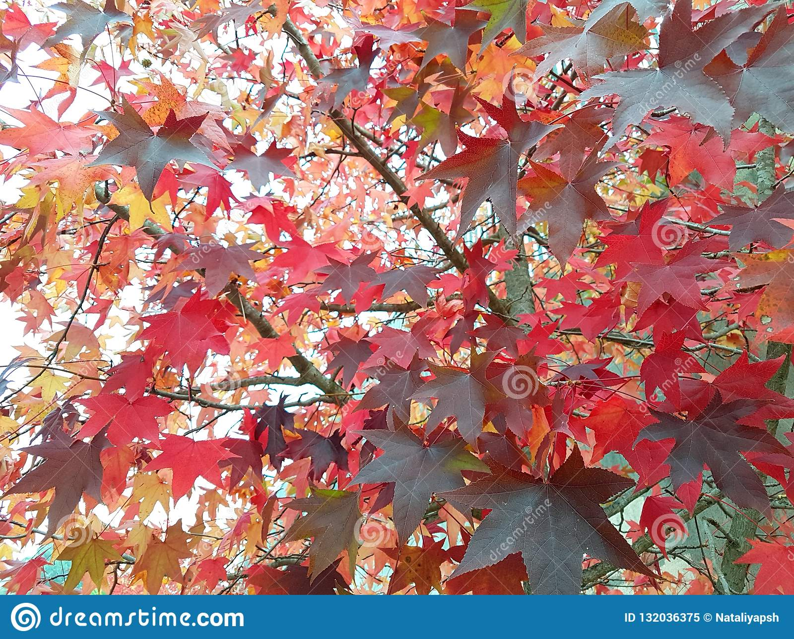 The Red maple leaves
