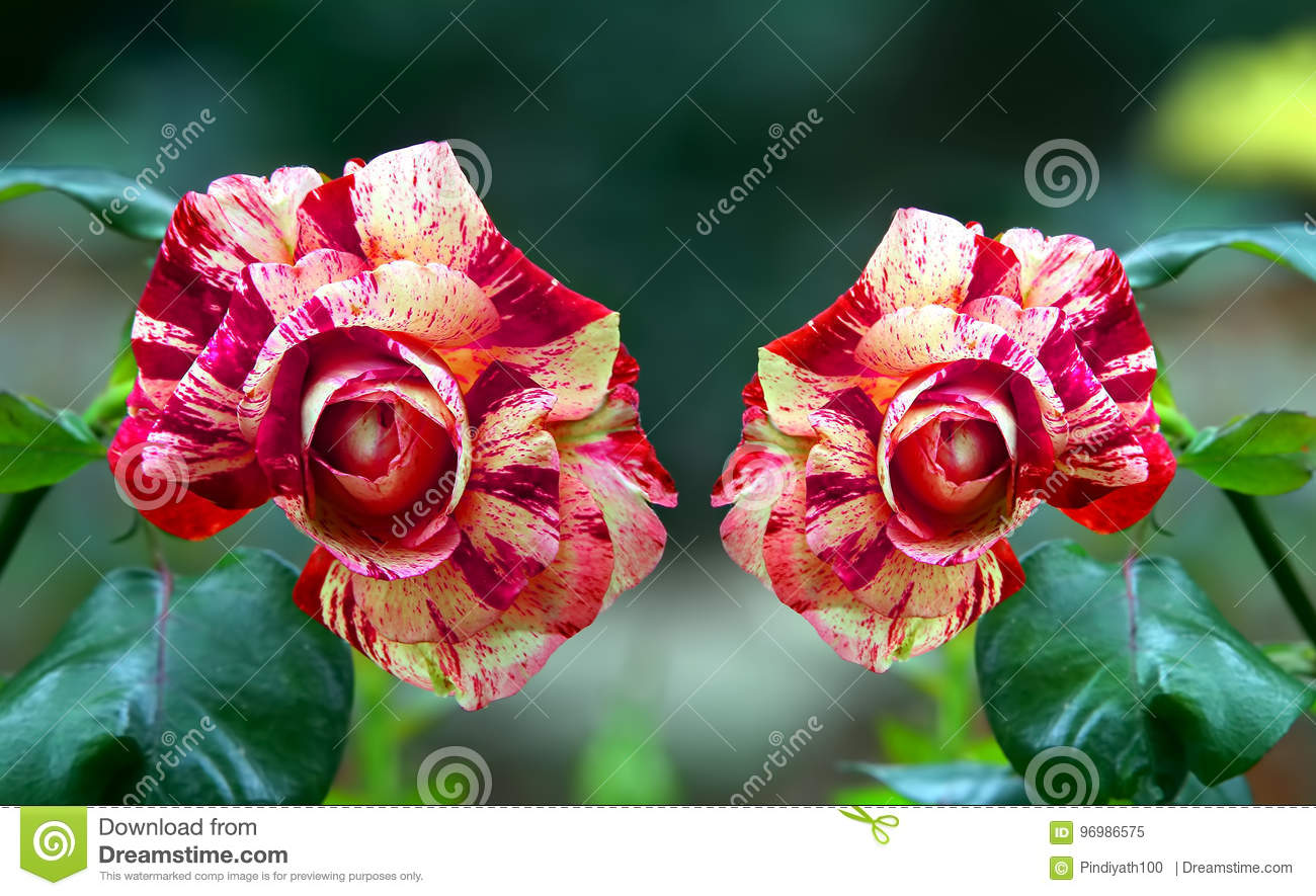 Beautiful red meteor rose flowers stock image image of meteor rare and beautiful red meteor rose slowers in a tropical garden izmirmasajfo