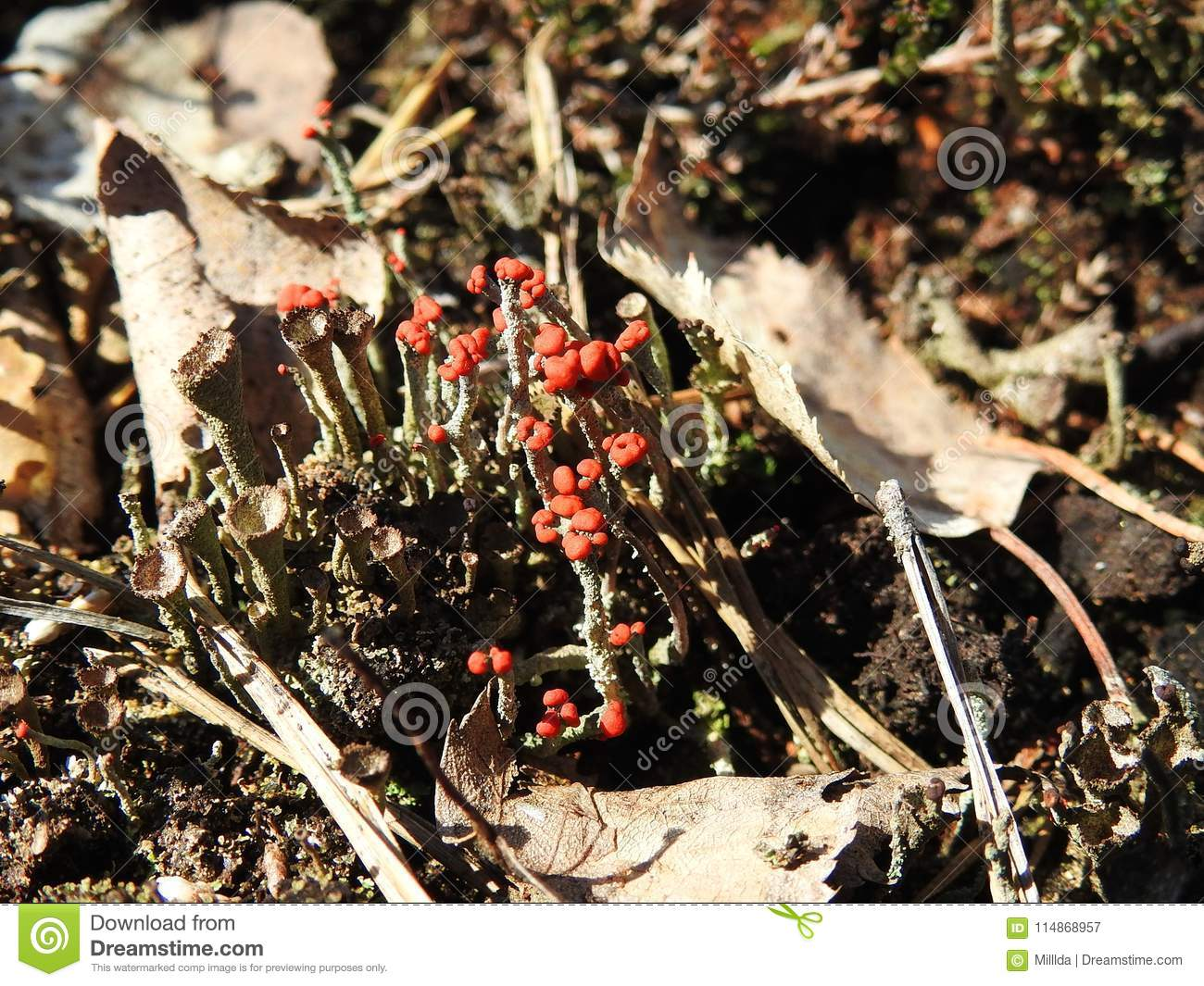 Red lichen in spring marsh, Lithuania