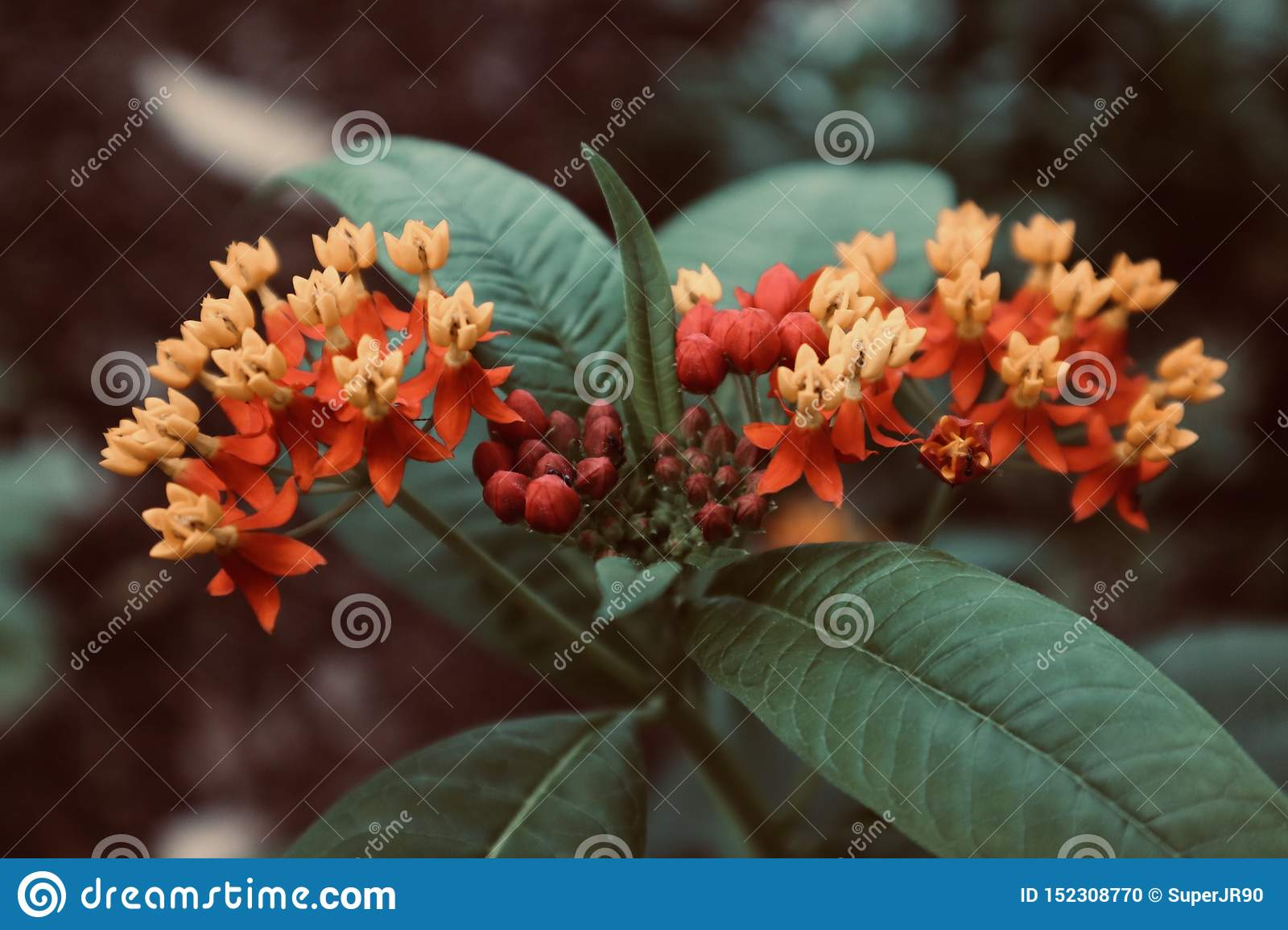 Beautiful red orange yellow with background close up flower blooming wild flower