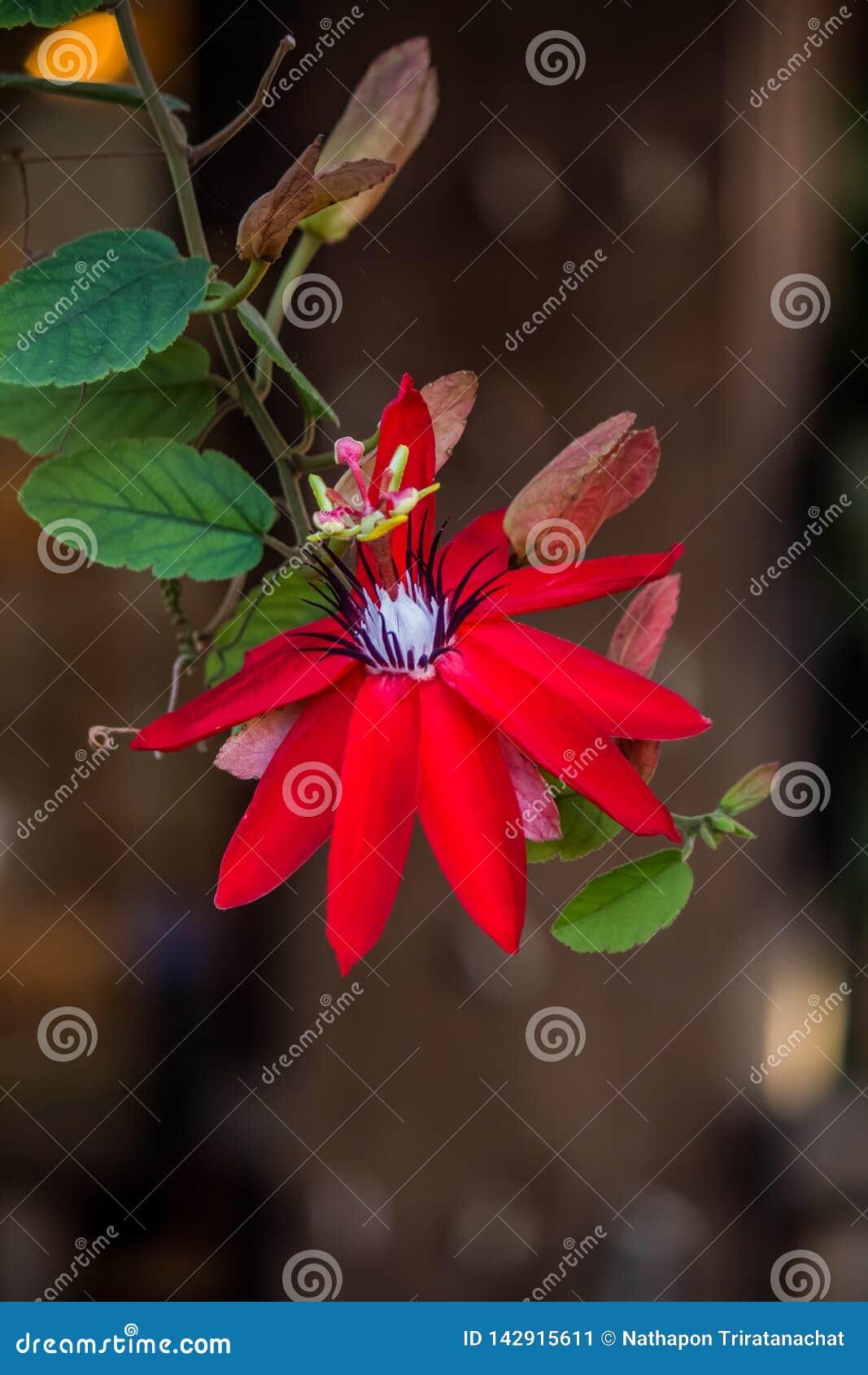 Beautiful Red Passion Flower Passiflora coccinea.