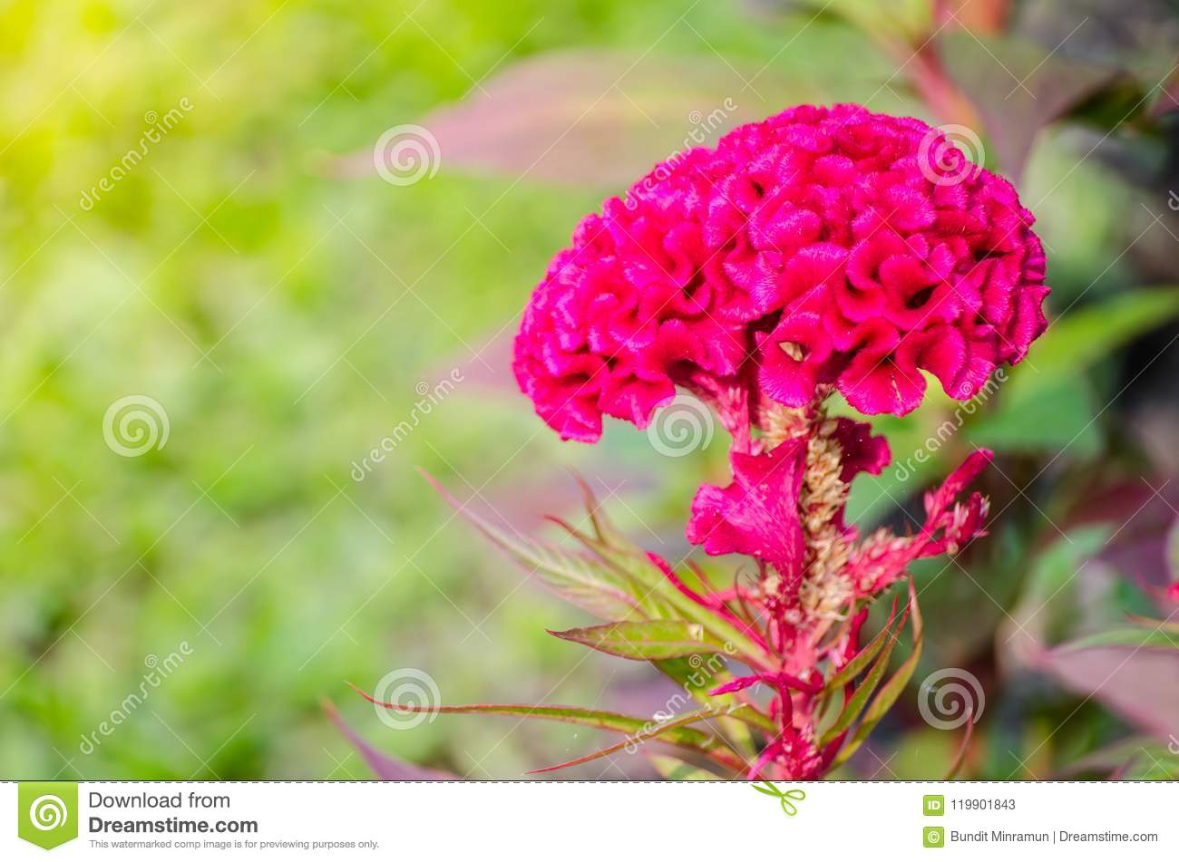 Beautiful Red Pink Cockscomb Or Hornbill Flower In Season At A