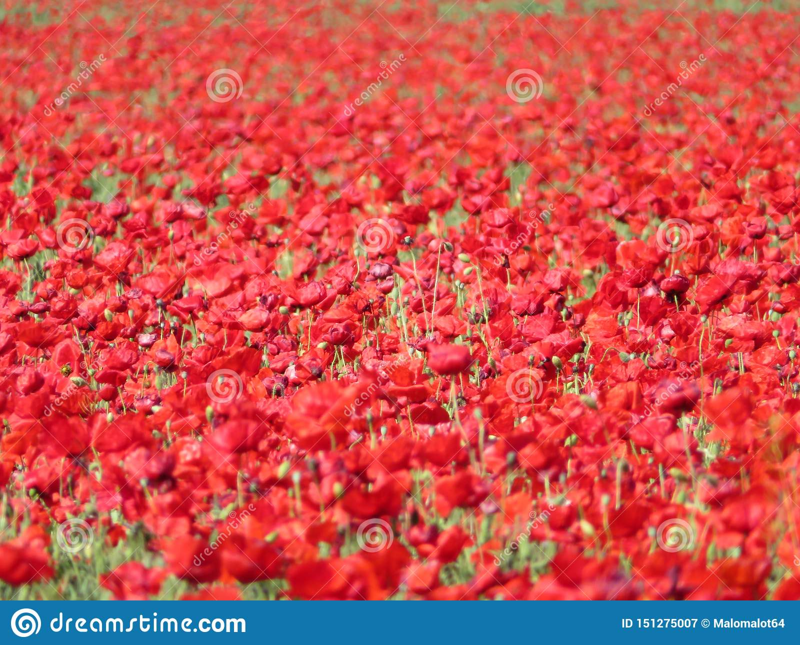 Beautiful red poppies full of flowers mixed with cereal