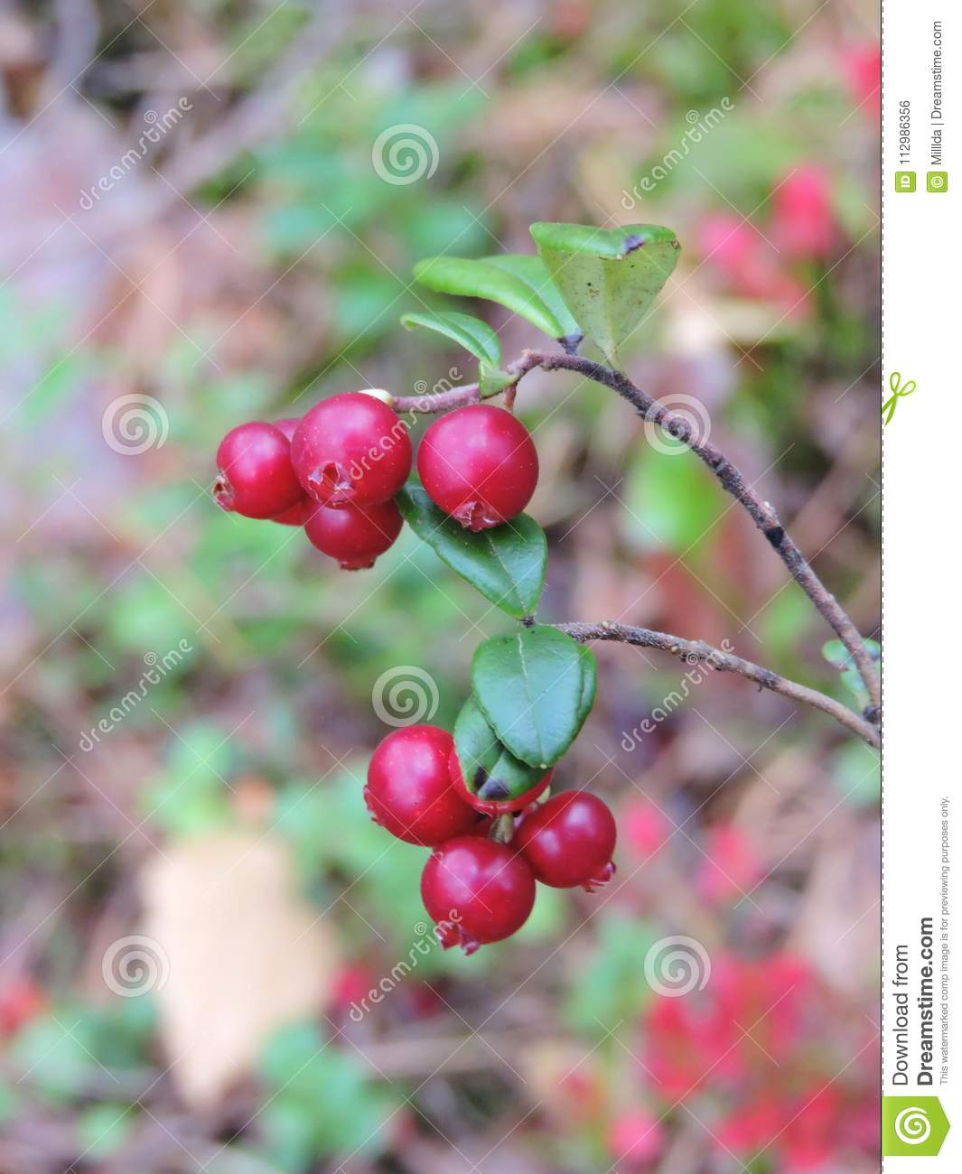 Red ripe cranberry in forest, Lithuania