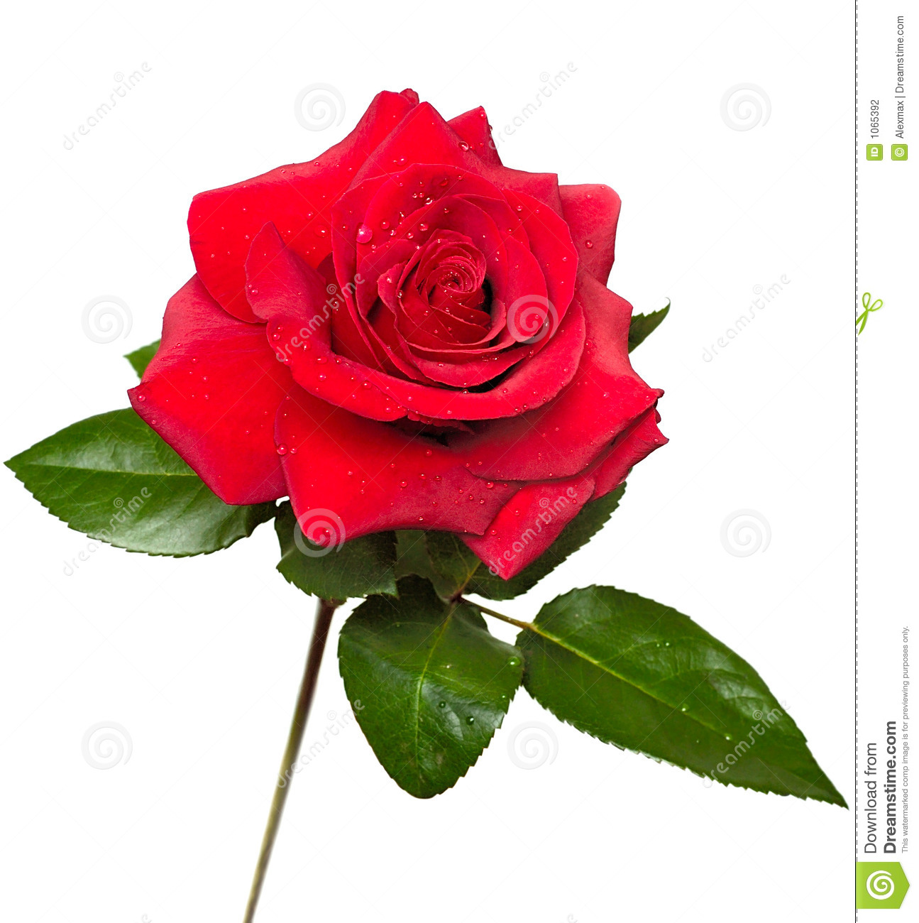 Beautiful red rose stock photo image of colourful vivid 1065392 beautiful red rose izmirmasajfo Choice Image