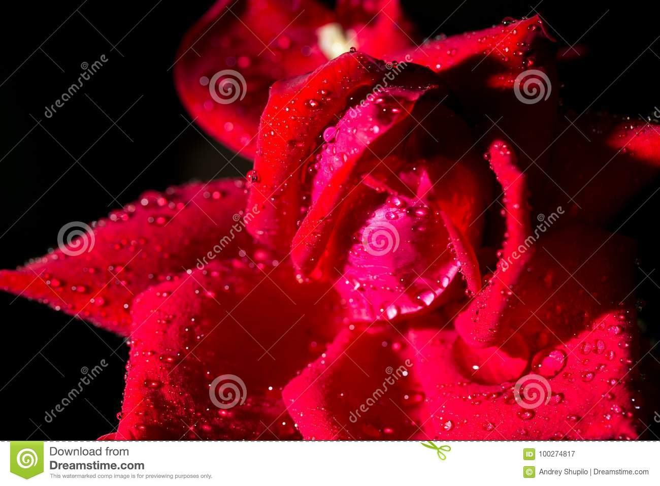 Beautiful Red Rose On A Black Background Stock Image