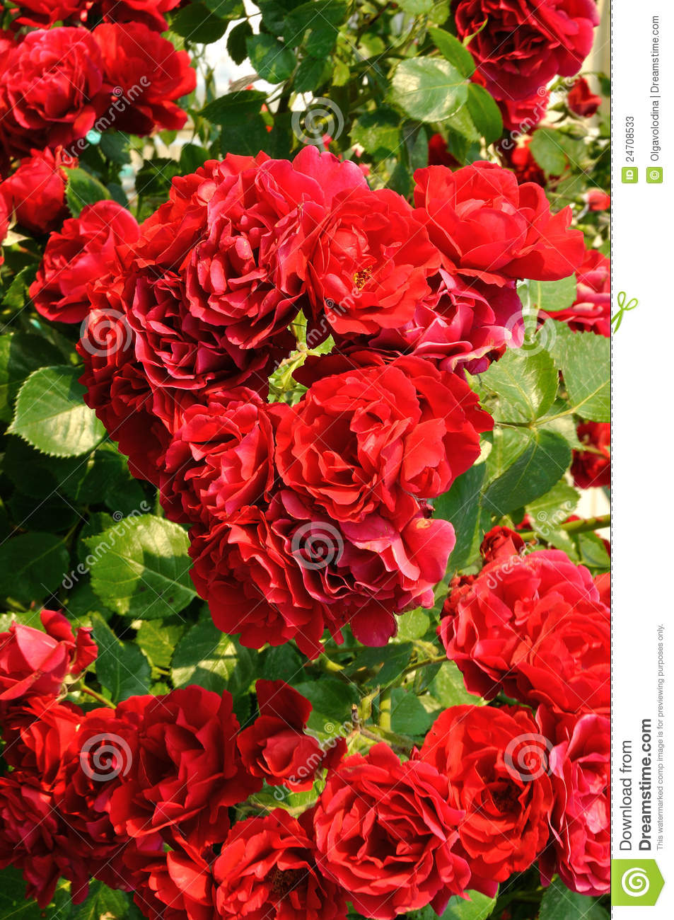 Beautiful Red Rose Bush Stock Image Image Of Summer