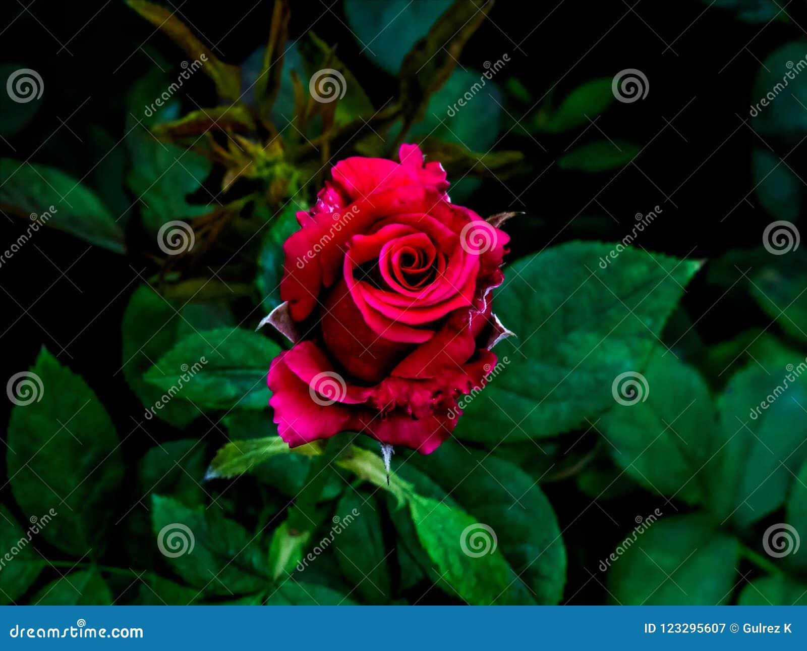 Red Rose in dark green background