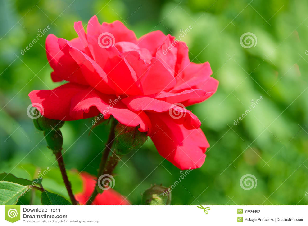 Beautiful red rose flower against green foliage background - Beautiful rose flower garden ...
