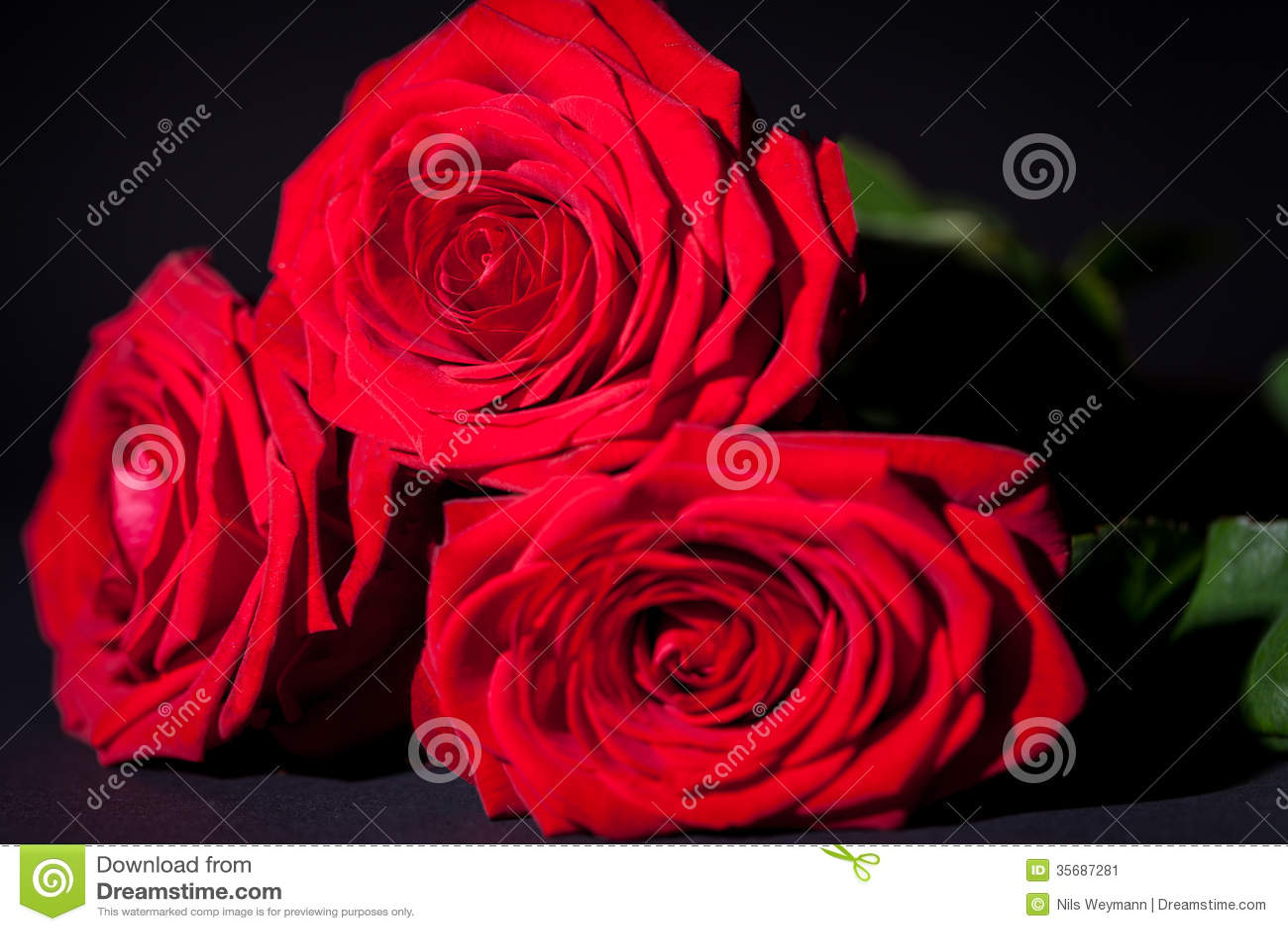 Beautiful red rose flower on black background stock image image of beautiful red rose flower on black background izmirmasajfo
