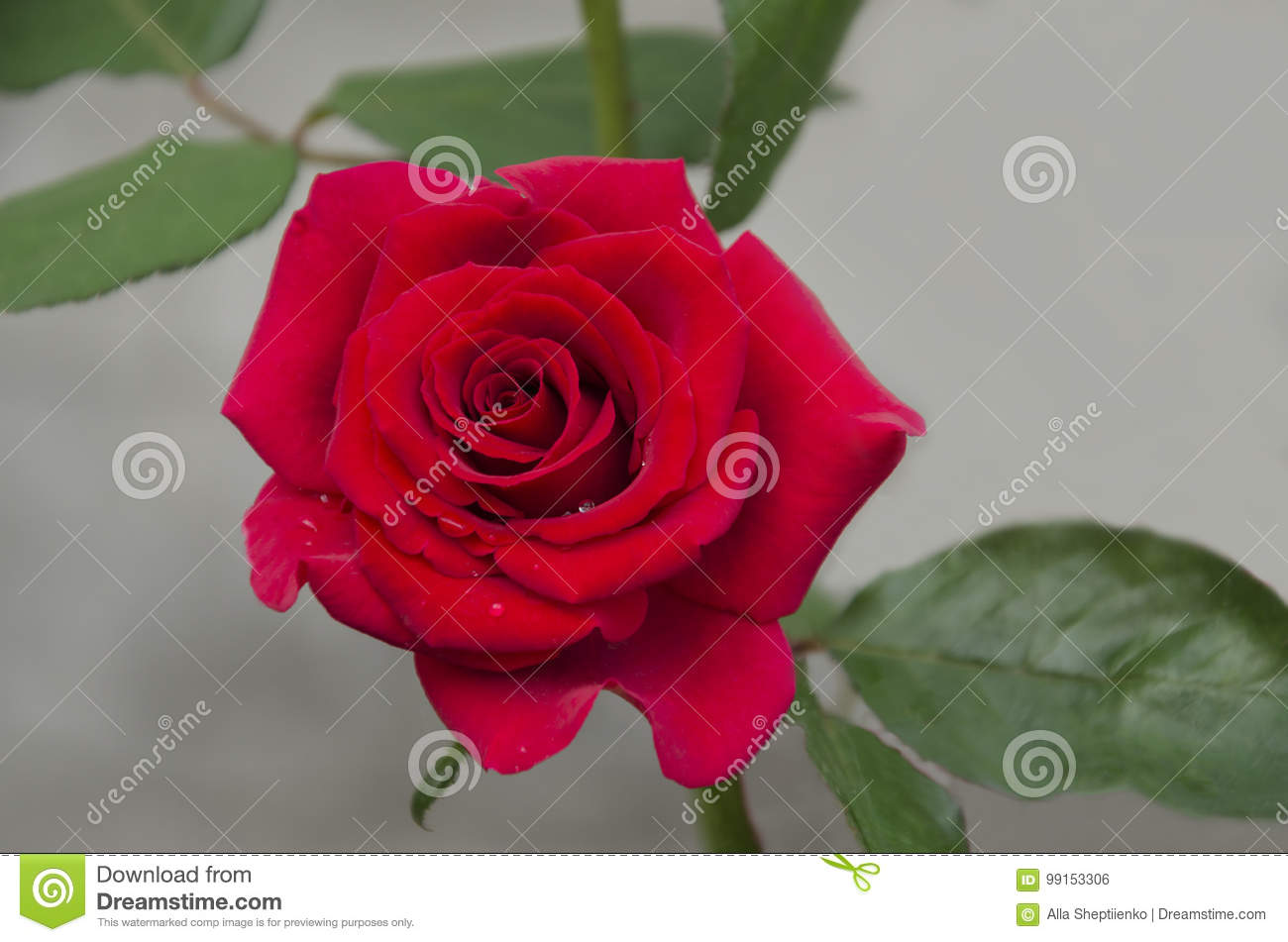 Beautiful red rose flower stock photo image of design 99153306 beautiful red rose flower izmirmasajfo