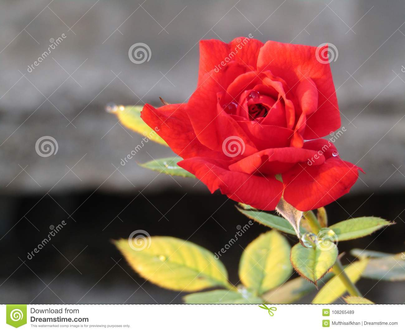 Beautiful Red Rose Flowers Beauty Stock Image Image Of