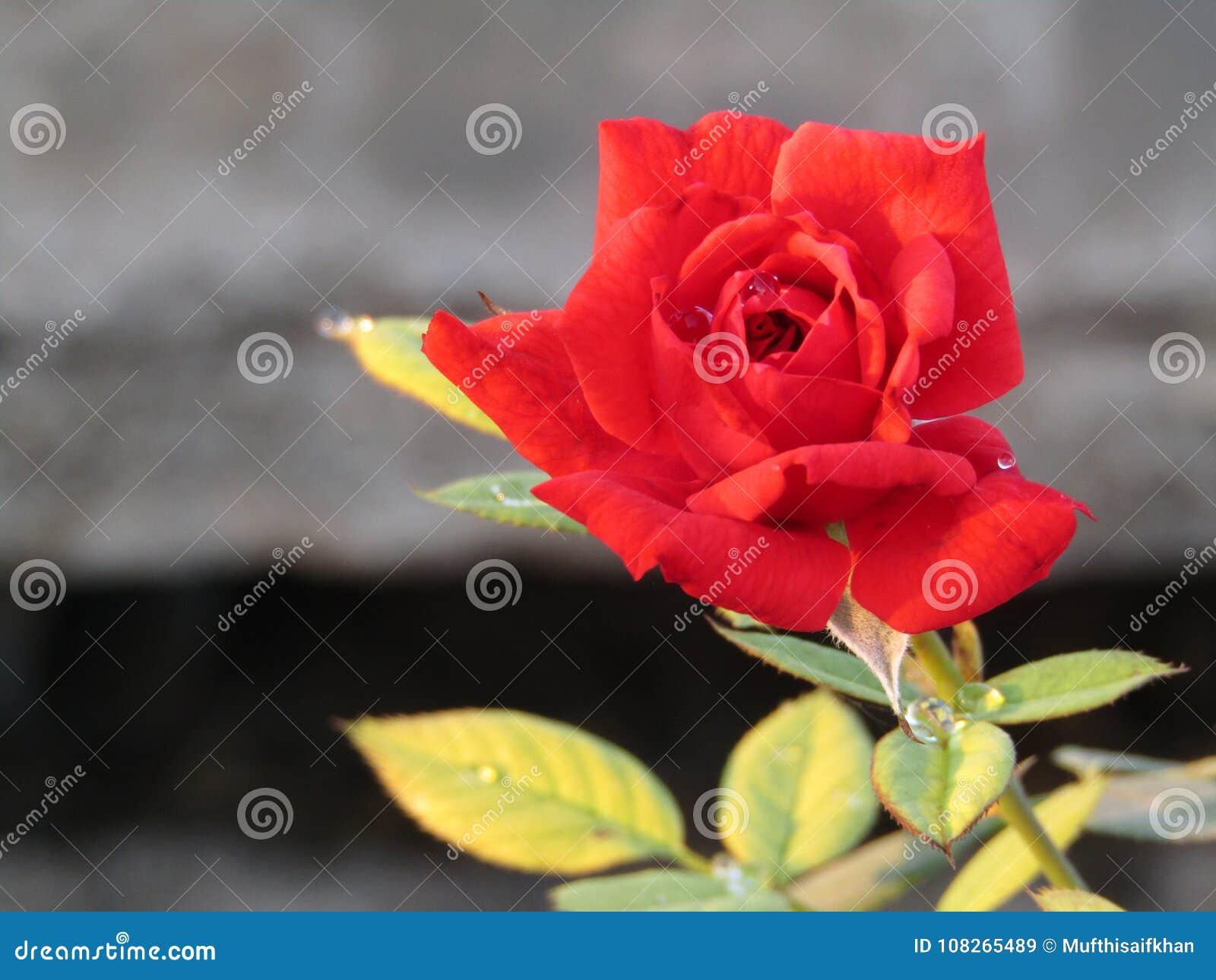 Beautiful red rose flowers beauty stock image image of wallpapers beautiful red rose flowers beauty izmirmasajfo