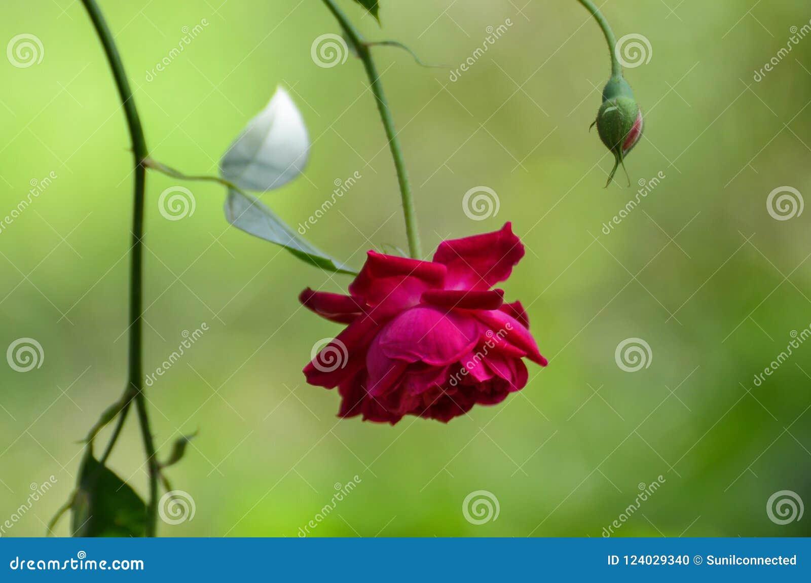 Beautiful Red Rose Hanging Upside Down Stock Photo Image Of Rose
