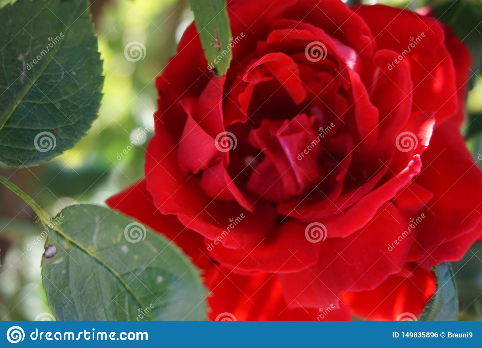 Beautiful red rose with leaves in close-up