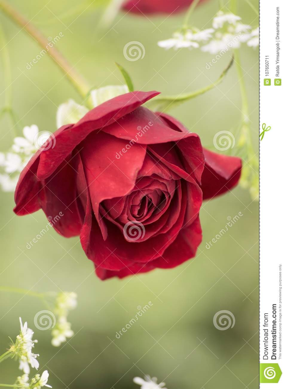 Beautiful Red Rose With Lovely White Flowers Stock Image Image Of
