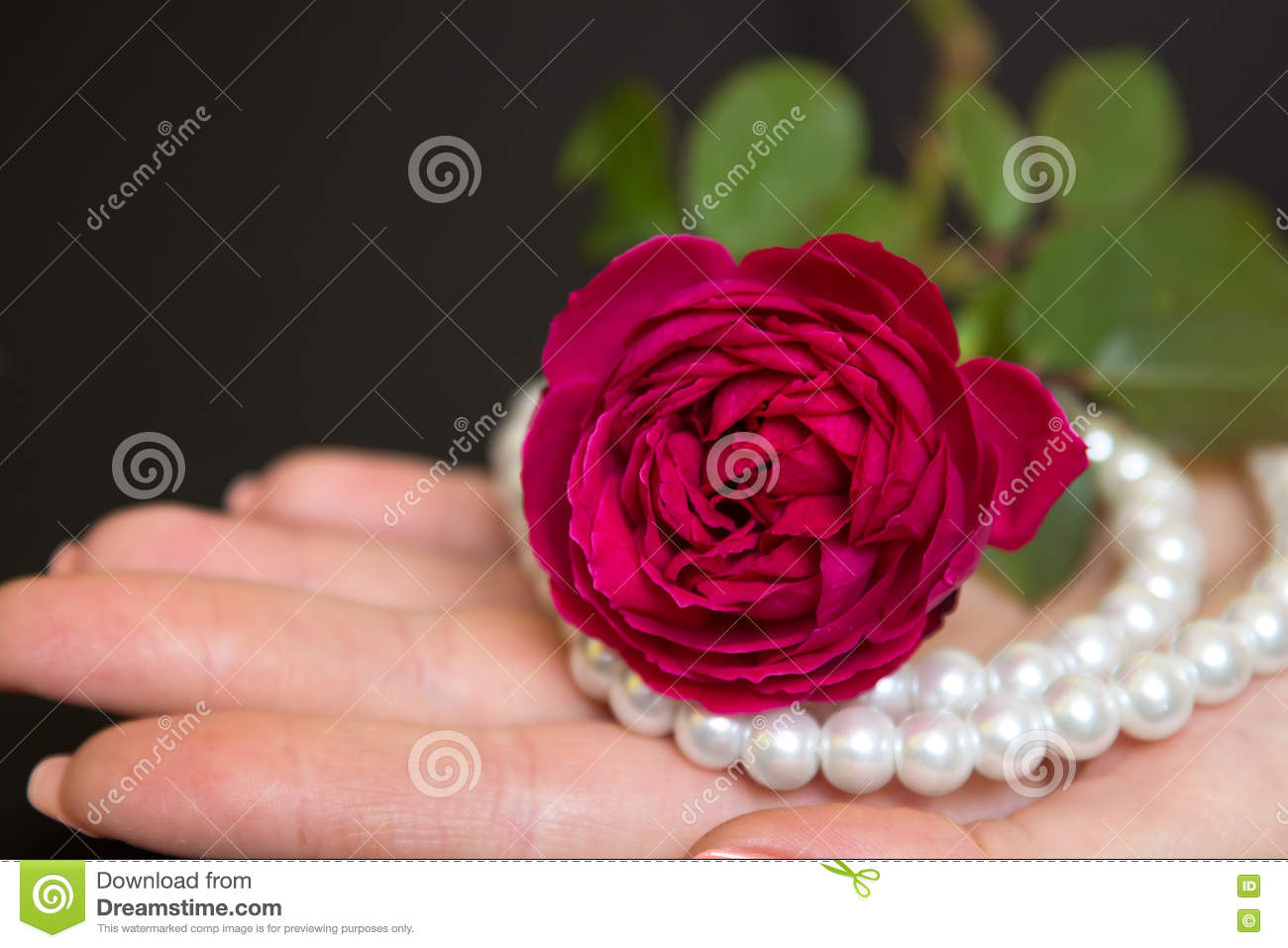 Beautiful Red Rose With Pearls In A Female Hand Stock ...
