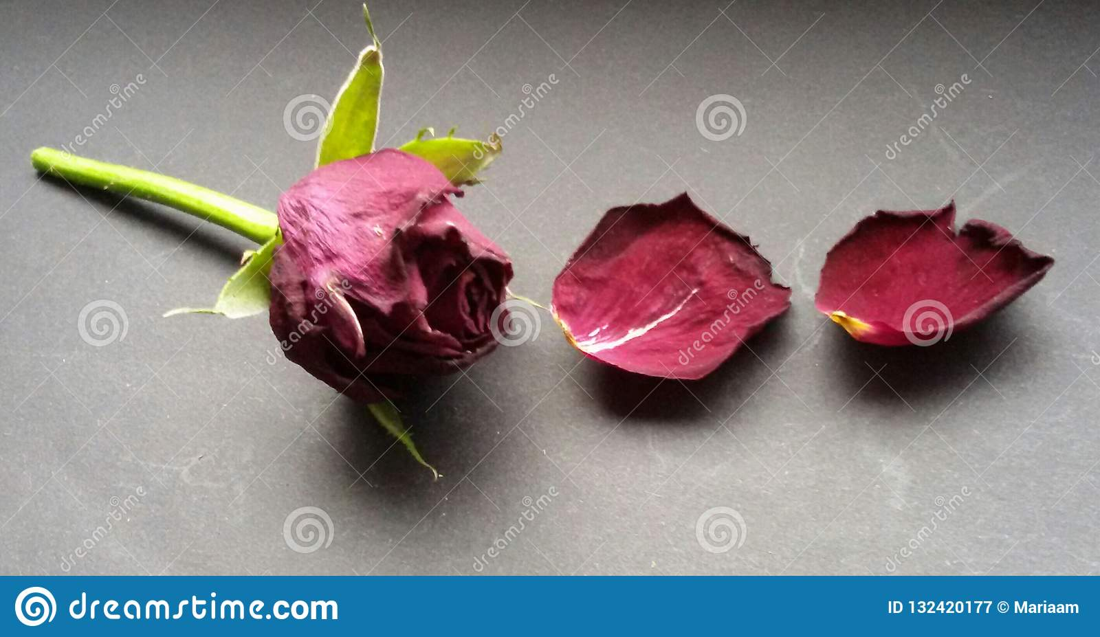 Rose and petals. Closeup of dried red rose. Withered flower over dark background.