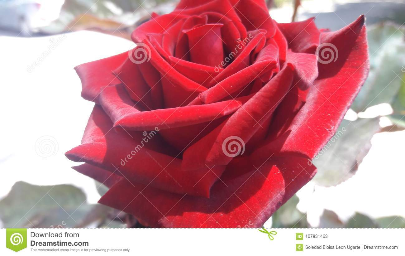 Beautiful Red Rose Stock Image Image Of Roses Flowers 107831463