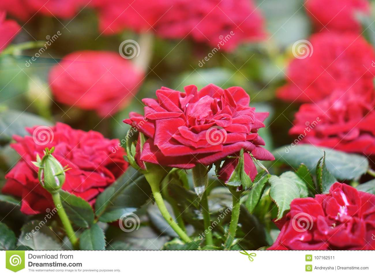 Beautiful Red Roses Stock Image Image Of Fresh Wallpapers 107162511