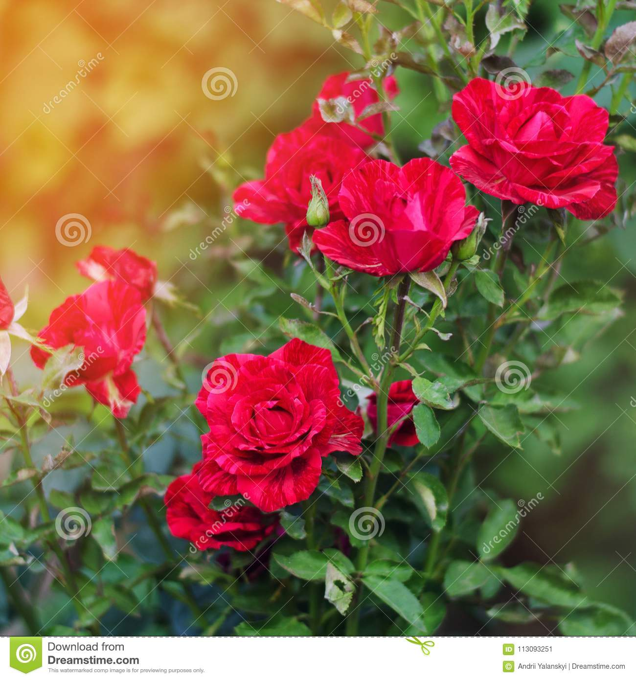 Download Beautiful Red Roses In The Garden Nature Wallpaper Flowers Bush Of