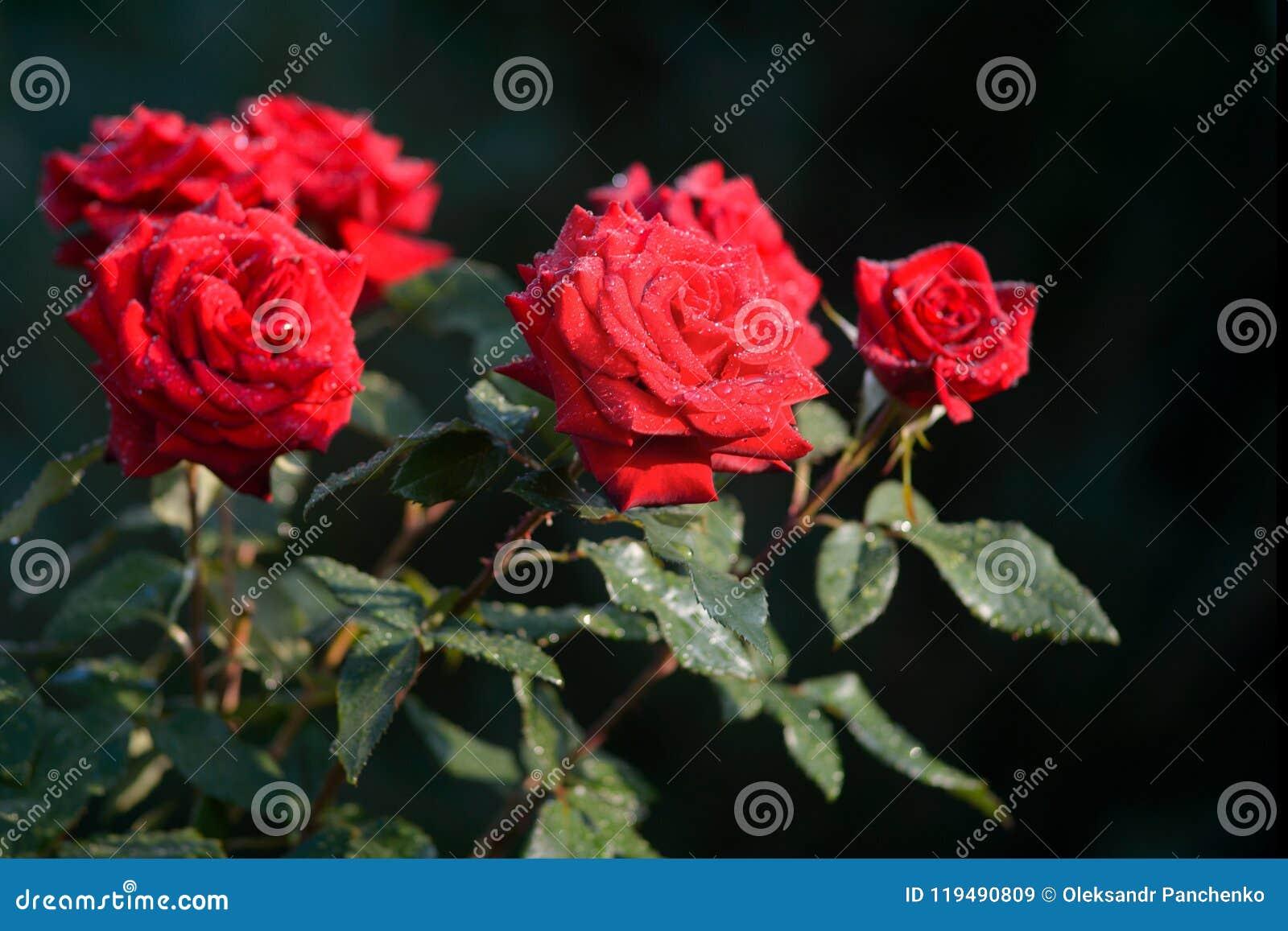Beautiful red roses in garden symbol of passionate love flower beautiful red roses in garden symbol of passionate love flower izmirmasajfo