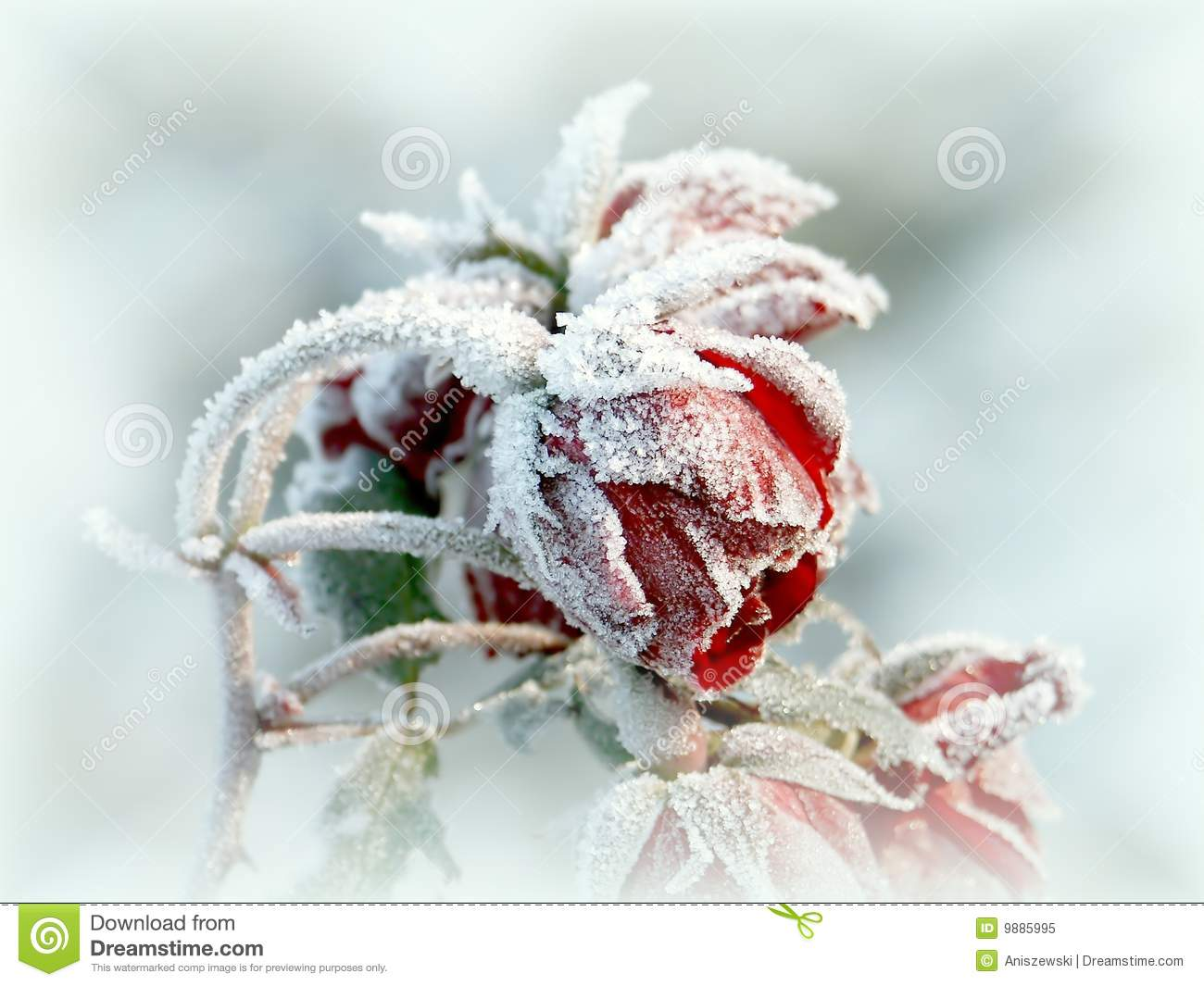 Beautiful red roses with morning frost