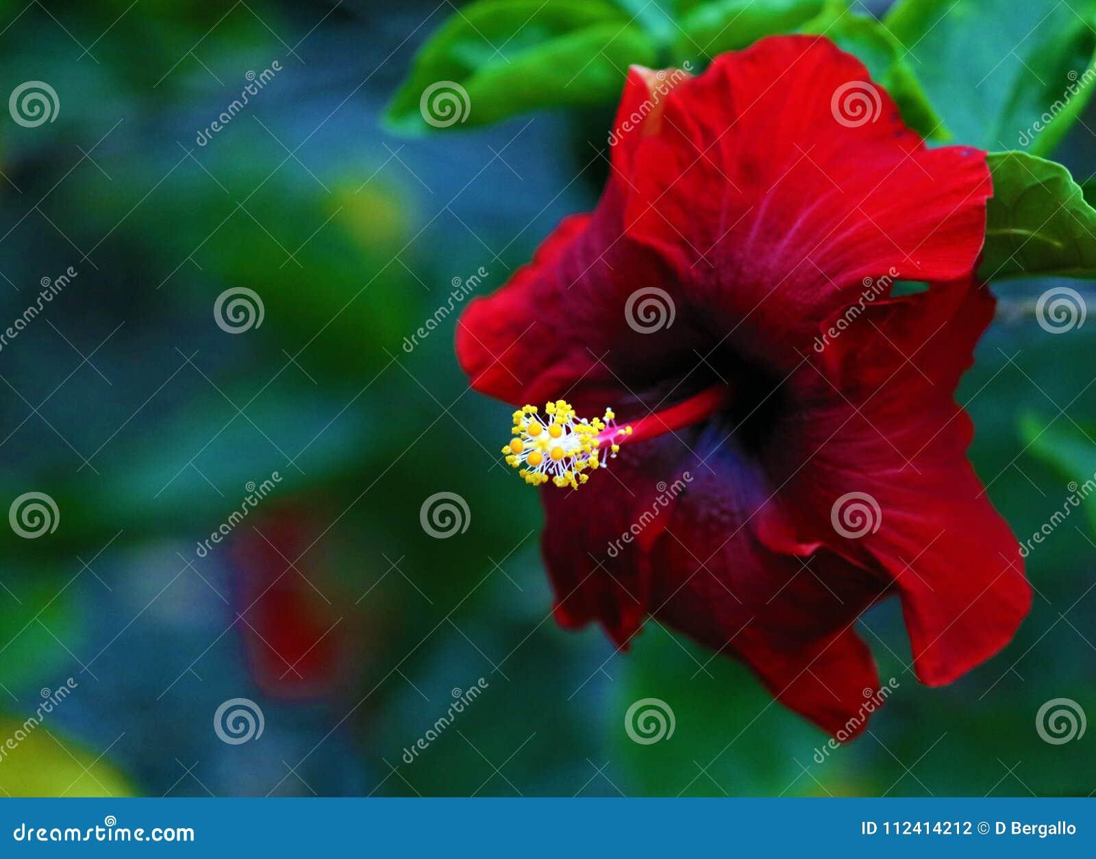 Beautiful red shoeblackplant hibiscus rosa sinensis pretty flower beautiful red shoeblackplant hibiscus rosa sinensis pretty flower izmirmasajfo