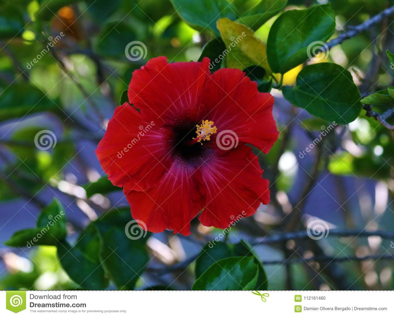 Beautiful Red Shoeblackplant Hibiscus Rosa Sinensis Pretty Flower