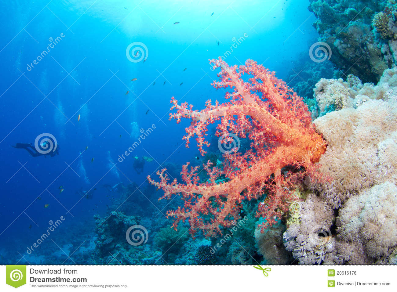 Beautiful red softcoral and diver