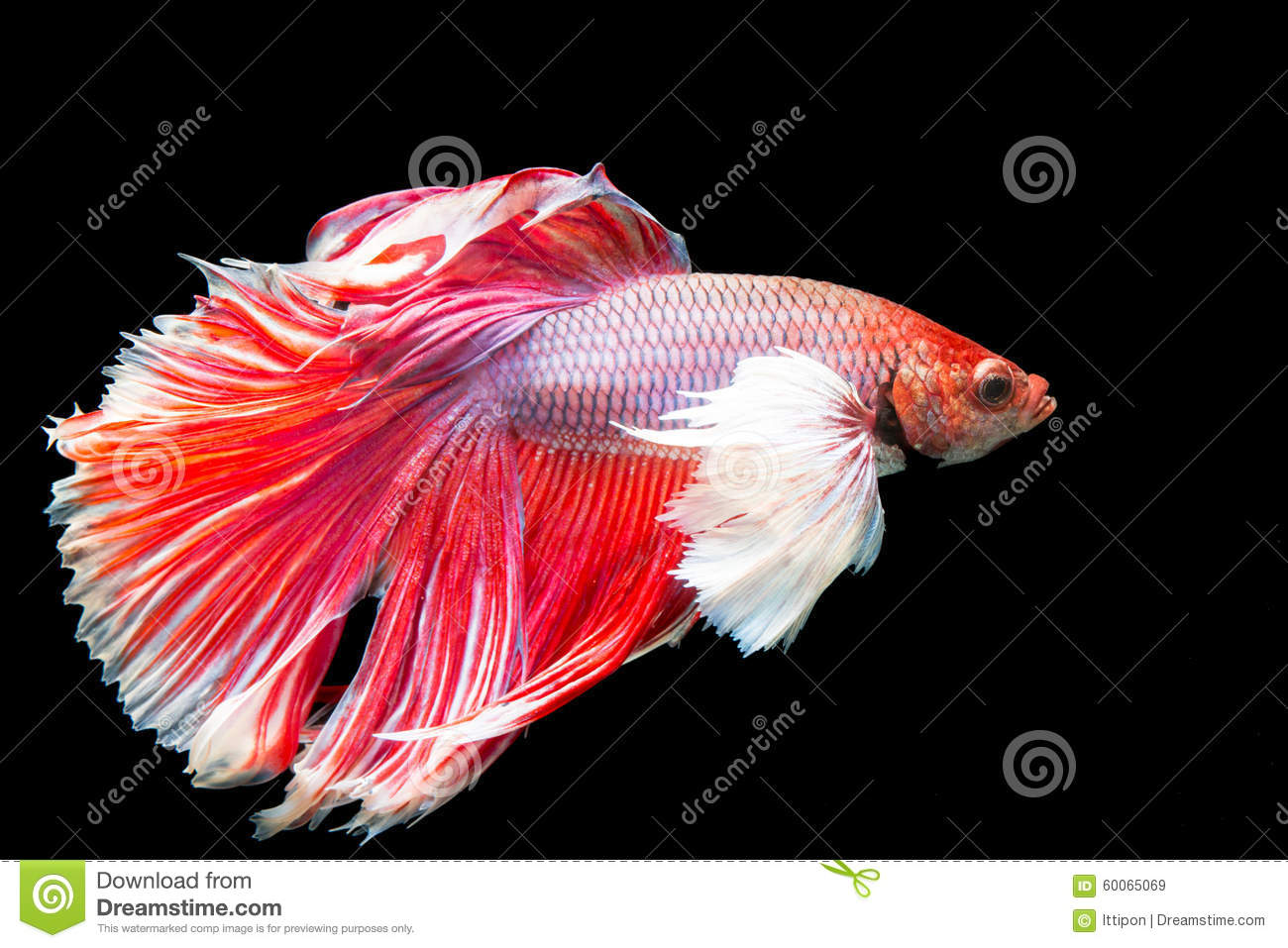 Fish tail fish beautiful - photo#14