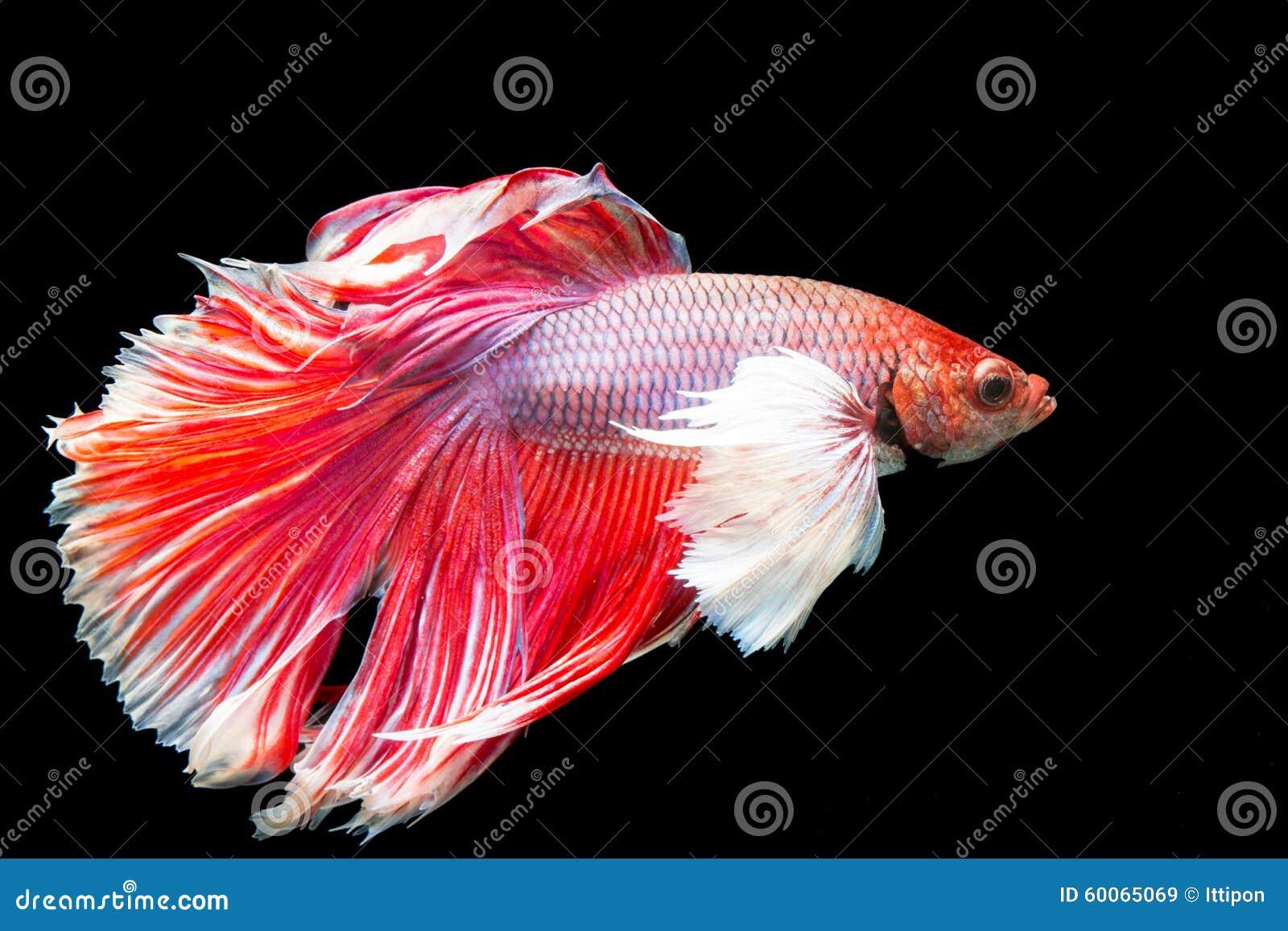 Beautiful of red tail siamese betta fighting fish stock for Red betta fish