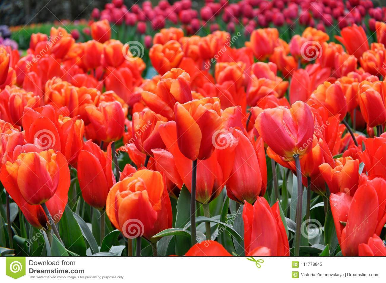 Beautiful red tulips. Spring floral background. Tulips close up