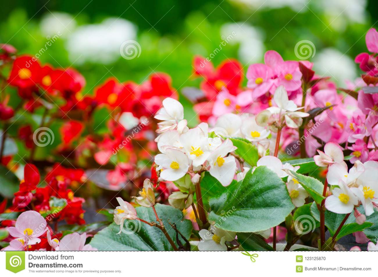 Beautiful red white and pink semperflorens begonia blooming flowers download beautiful red white and pink semperflorens begonia blooming flowers in a spring season at mightylinksfo