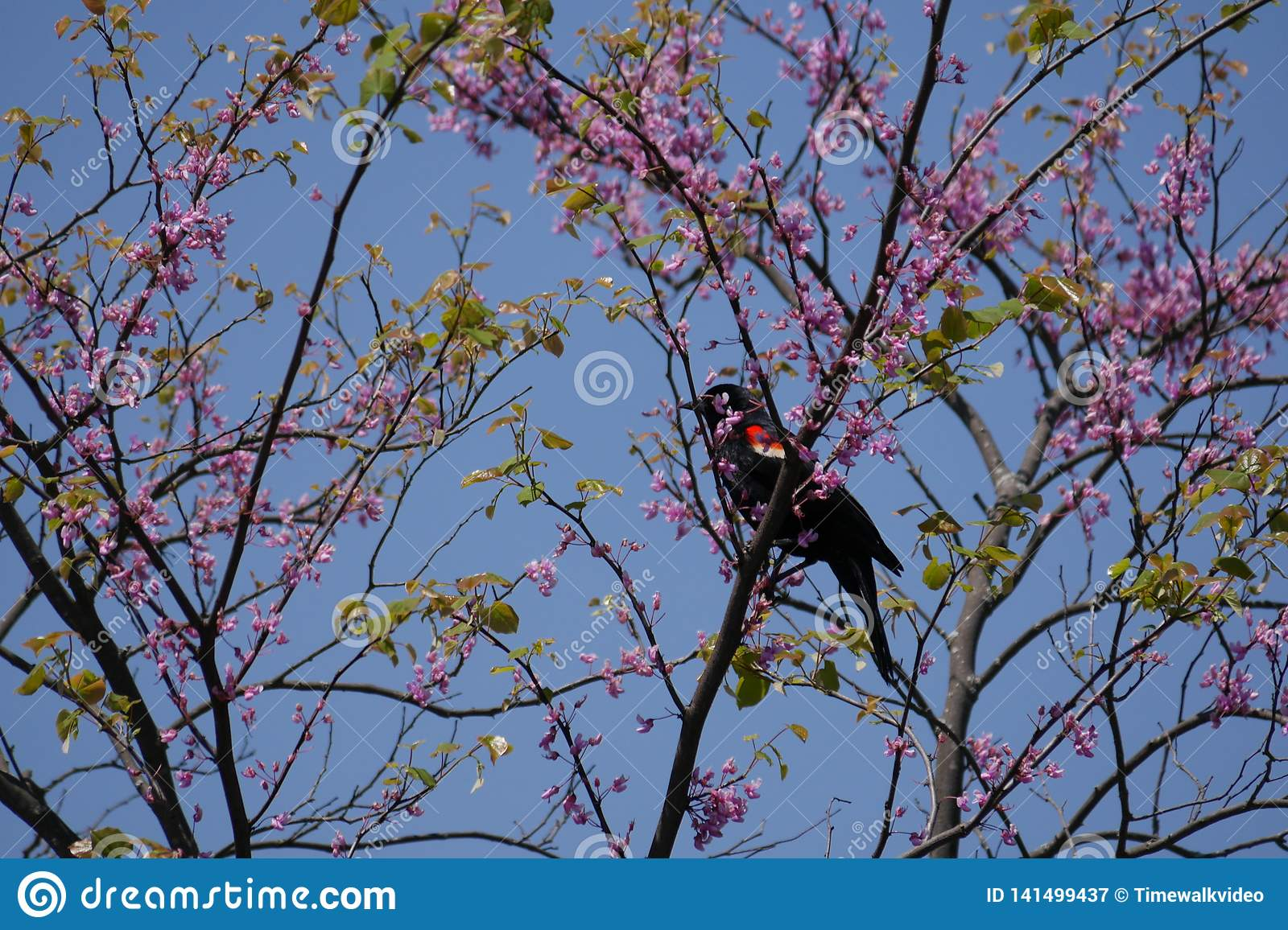 Red-Winged Blackbird in Pink Blossoms
