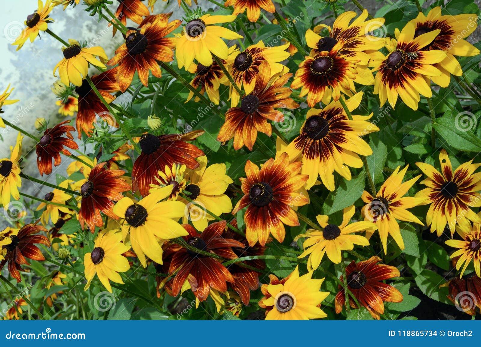 Beautiful Garden Flowers Rudbeckia Stock Photo Image Of Summer