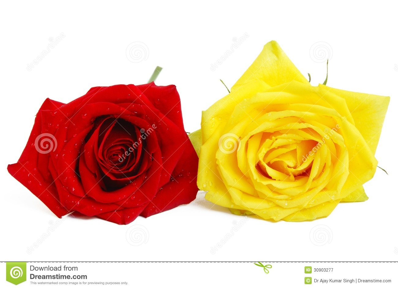 Beautiful red and yellow roses on white stock image image of flora royalty free stock photo buycottarizona Choice Image