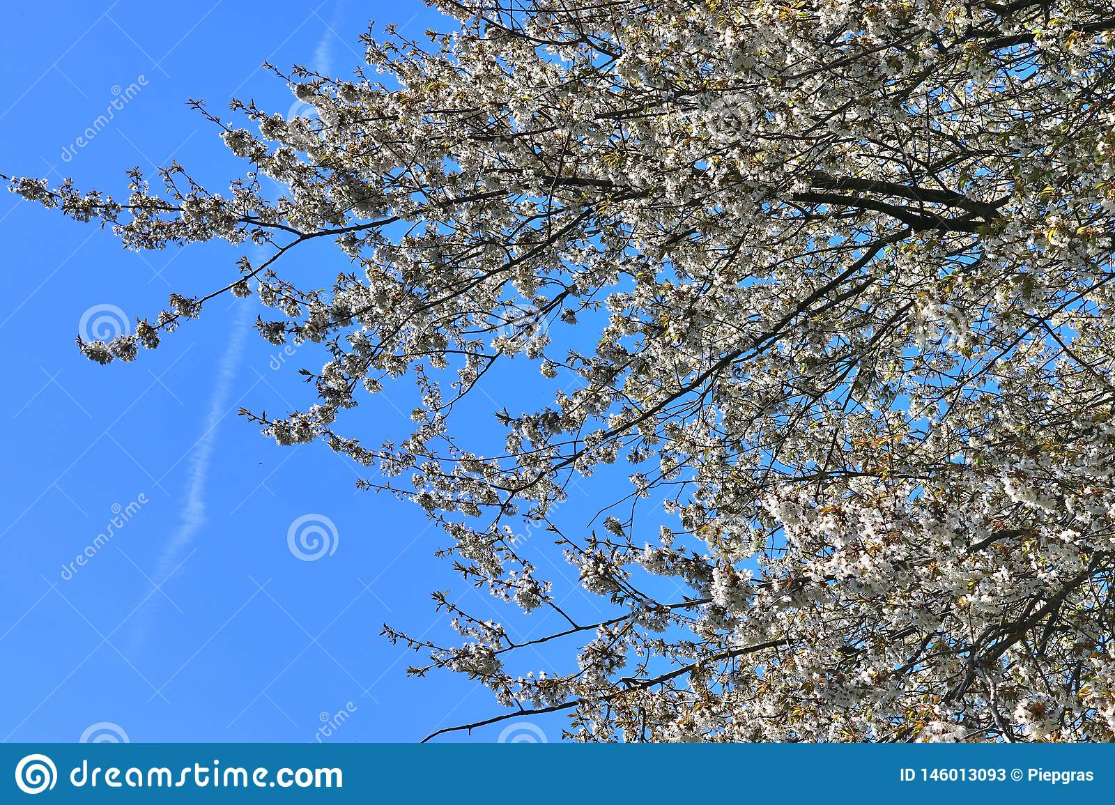 Beautiful red yellow and white blooming trees in front of a blue sky seen in germany