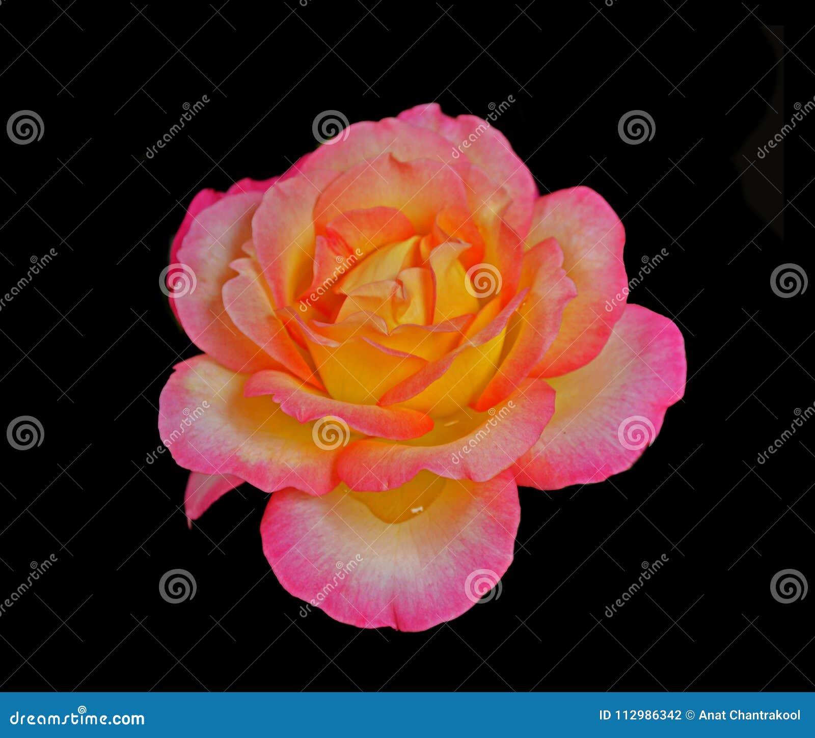 Beautiful Reddish yellow rose isolated on black