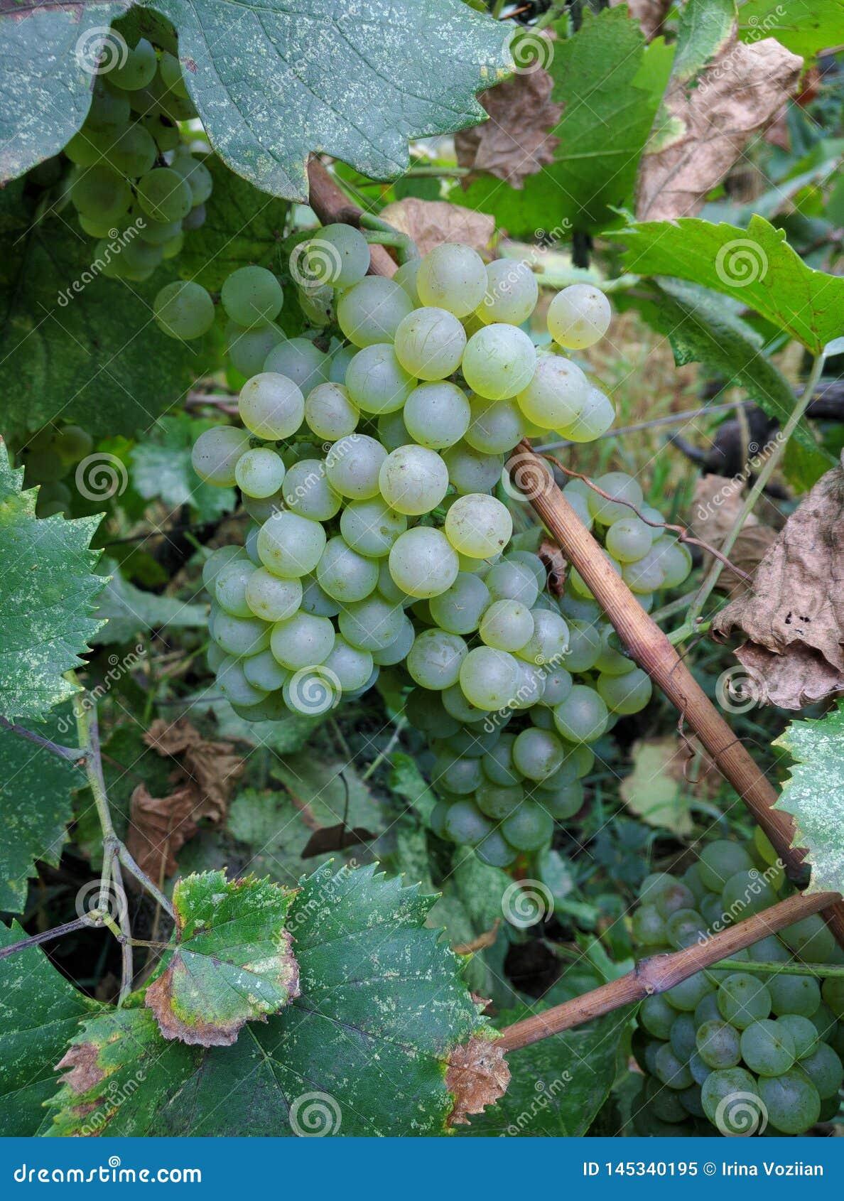 Beautiful ripe white grape hanging on grape tree