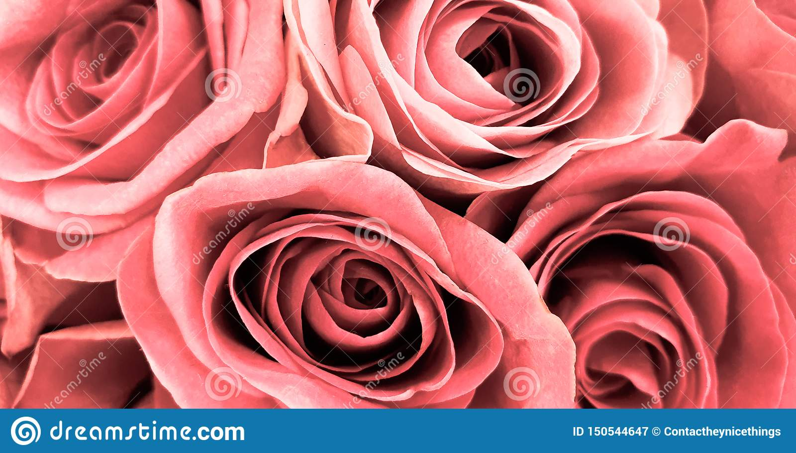 Beautiful romantic pink roses background