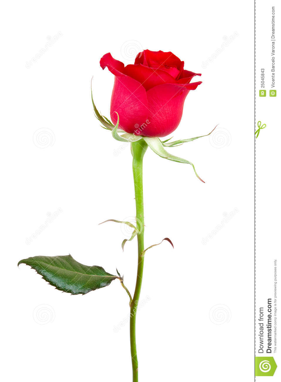 Beautiful Rose Stock Photos Image 25045843