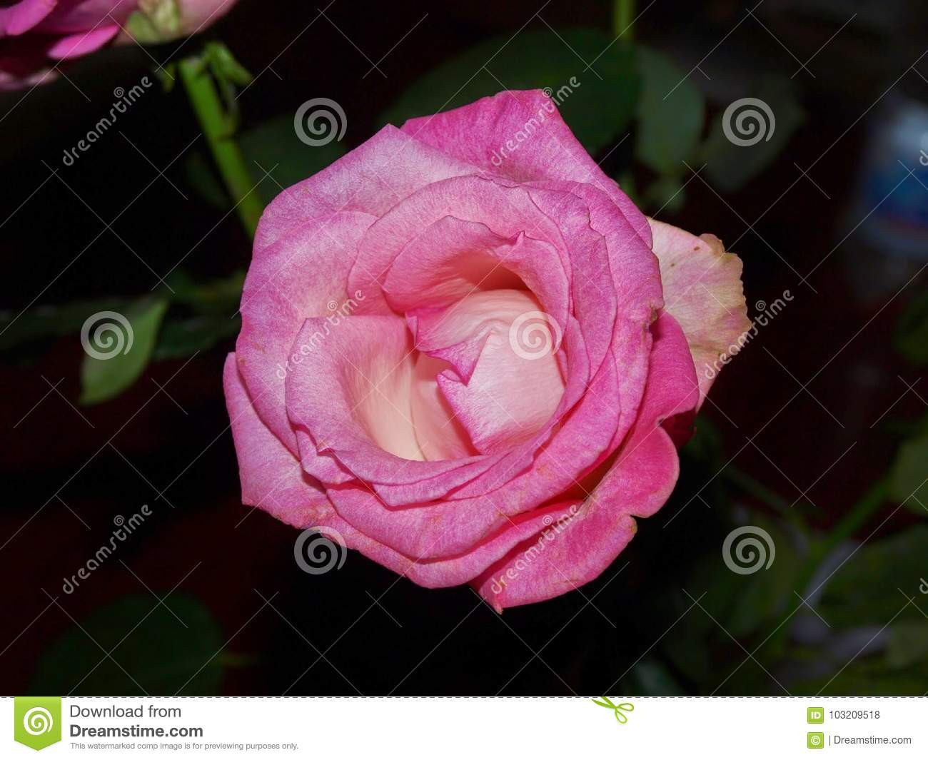 Beautiful rose stock photo image of attire banknotes 103209518 a beautiful flower in the interior of the office izmirmasajfo