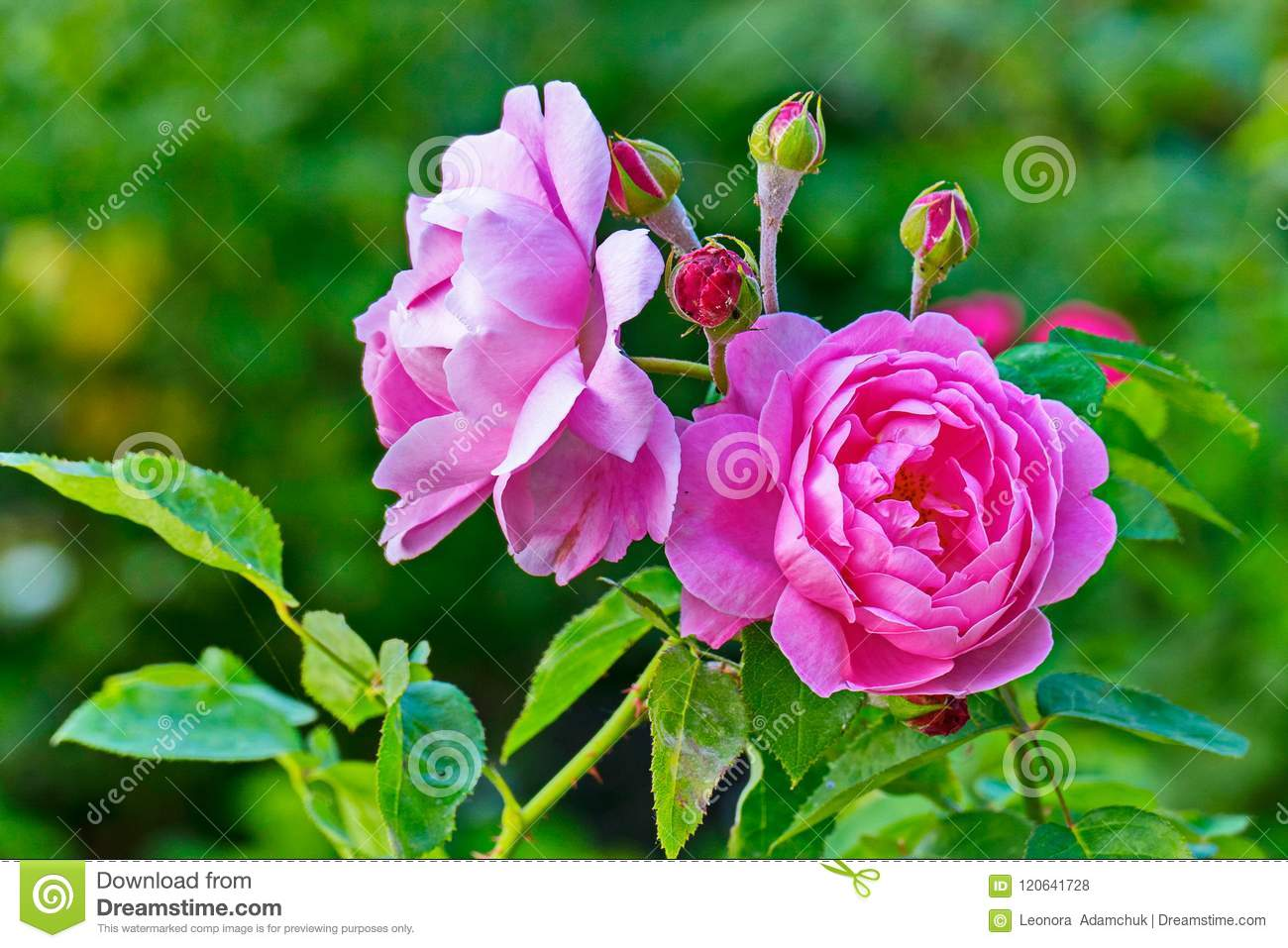 A beautiful rose with beautiful tender petals and unblown small buds a beautiful rose with beautiful tender petals and unblown small buds growing on a thin izmirmasajfo