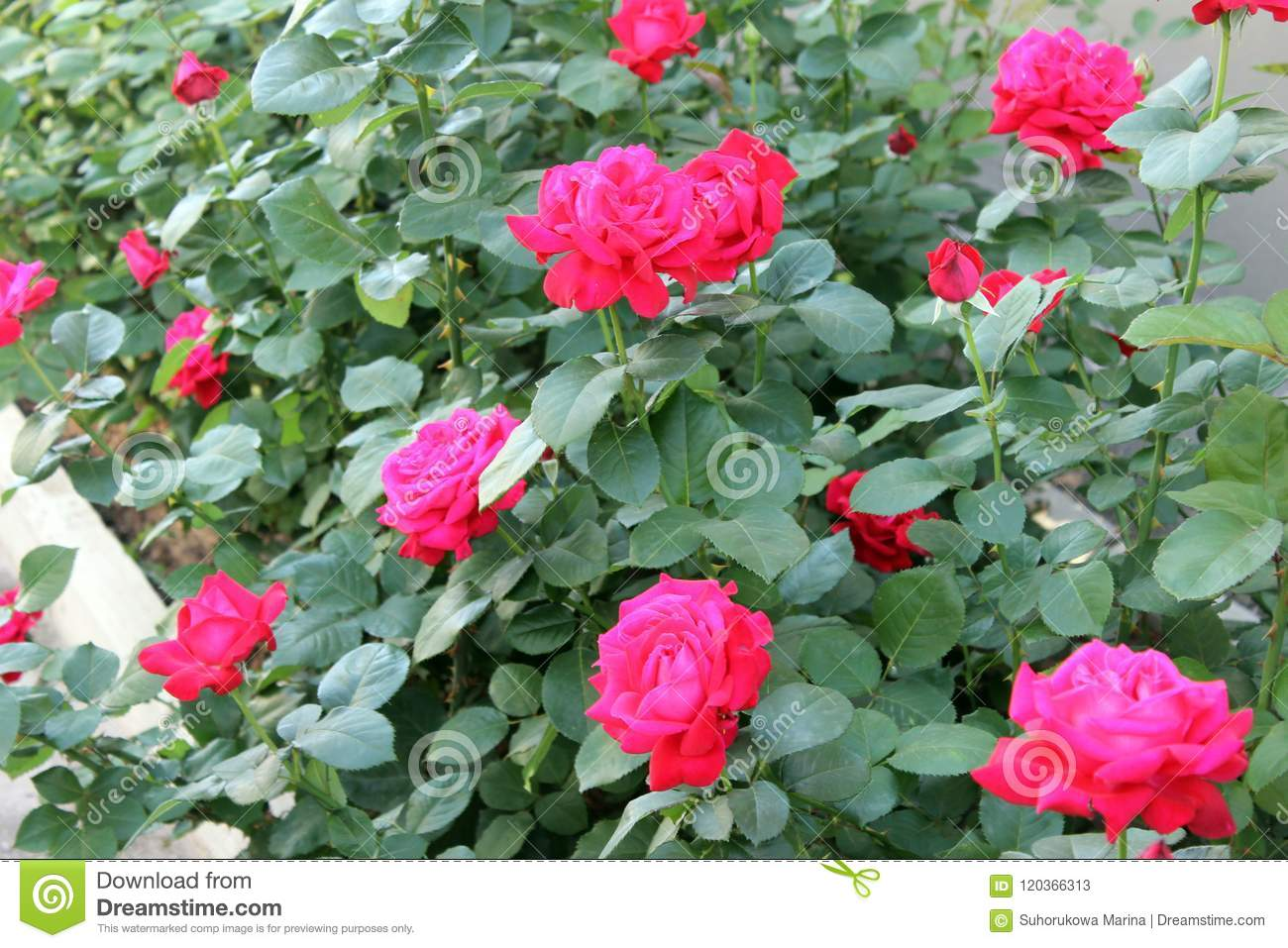 Beautiful rose flower backgrounds stock image image of friendship beautiful backgrounds of flowers roses yellow pink alleys of roses izmirmasajfo