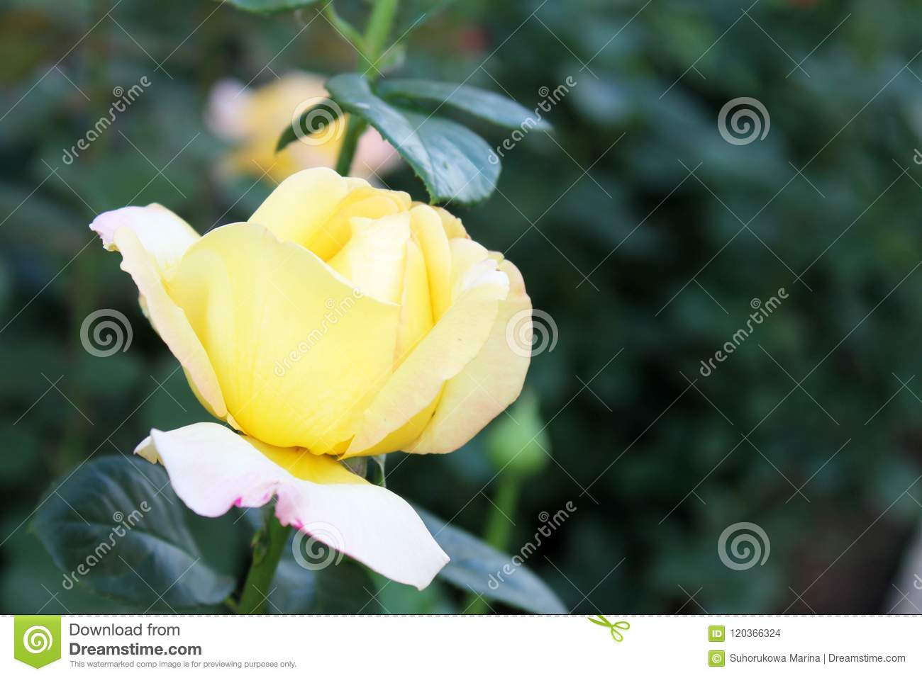 Beautiful rose flower backgrounds stock photo image of bride beautiful backgrounds of flowers roses yellow pink alleys of roses izmirmasajfo
