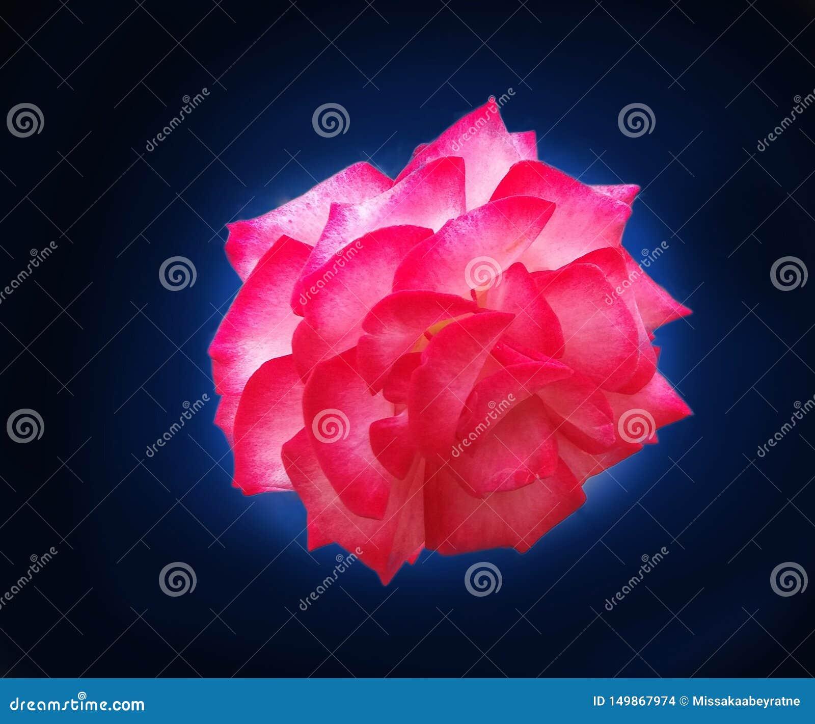 Beautiful Rose Flower in blue & black background
