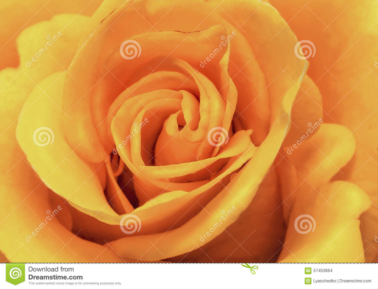 The Beautiful Rose Flower Delicate Light Pink Color Closeup Stock